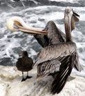 The Pelican Dance